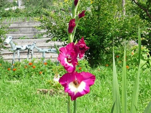 цветы гладиолусы - посадка, уход