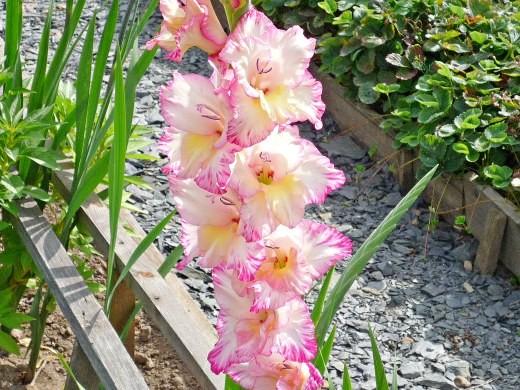 цветы гладиолусы на даче - посадка, уход
