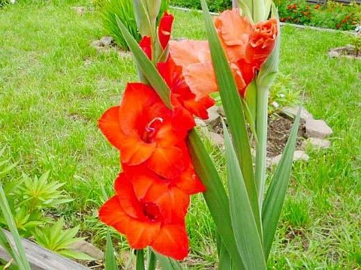 цветы гладиолусы на клумбе - посадка, уход