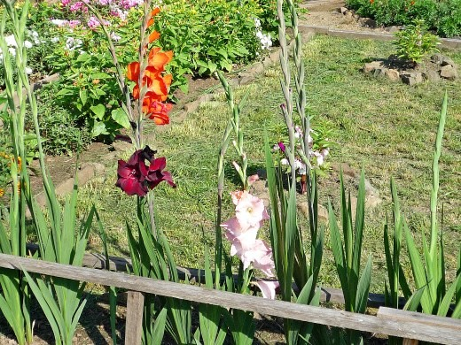 цветы гладиолусы, выращивание на даче - посадка, уход