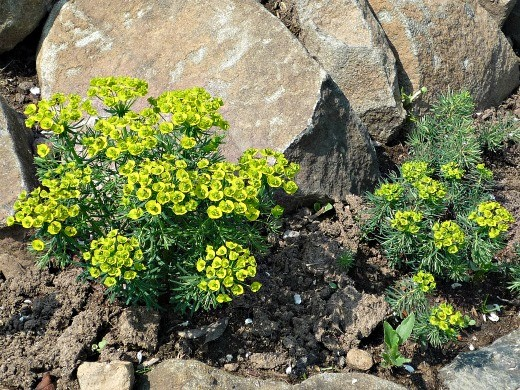 очиток цветущий, посадка и уход - седум на альпийской горке
