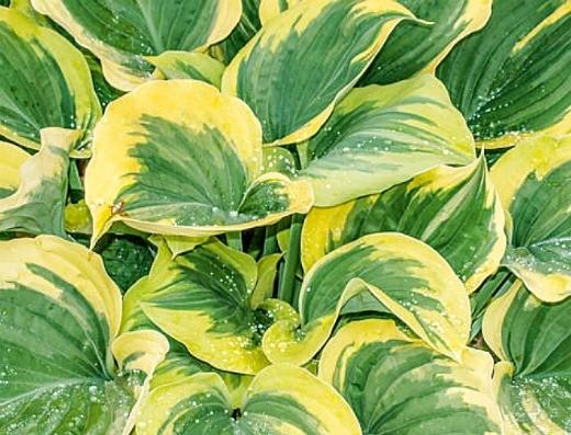 цветок хоста, посадка и уход - выращивание на даче