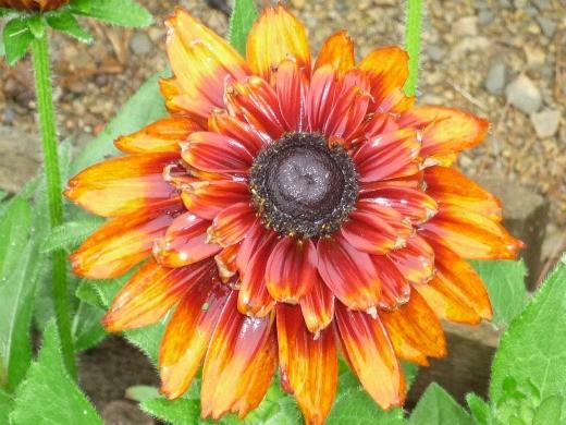цветок рудбекия многолетняя на дачном участке