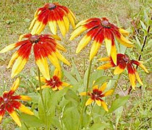 цветок рудбекия многолетняя за околицей
