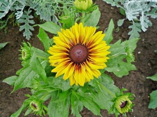 цветок рудбекия многолетняя желтая