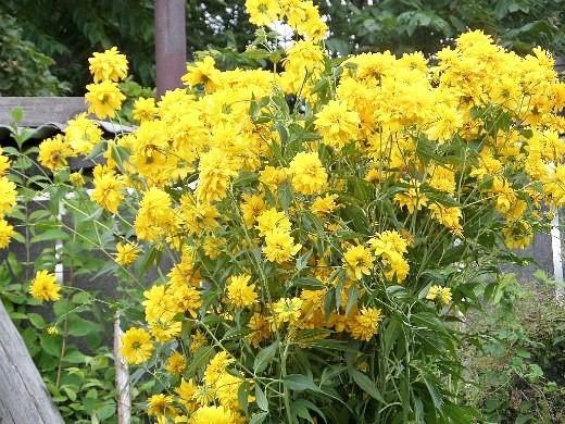 цветок рудбекия многолетняя - сорт золотой шар