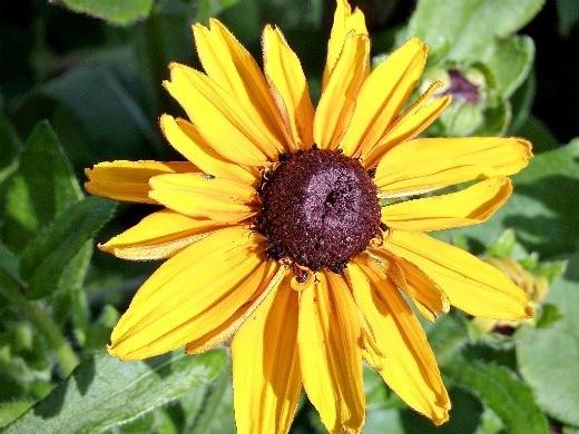 цветок рудбекия многолетняя летом на участке