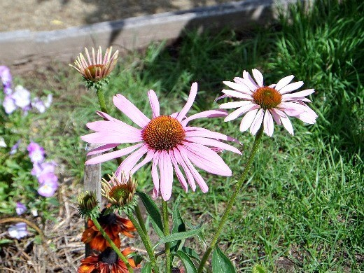цветок рудбекия многолетняя - эхинацея розовая