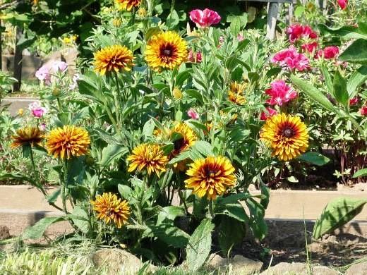 цветок рудбекия многолетняя - на даче