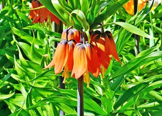 цветы рябчик императорский, посадка и уход
