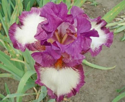 цветы ирисы, посадка и уход - выращивание