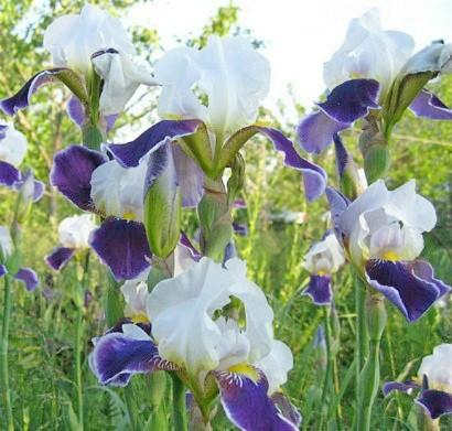 цветы ирисы фиолетово-белые, посадка и уход