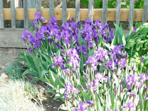 цветы ирисы, посадка и уход - в дачной рабатке