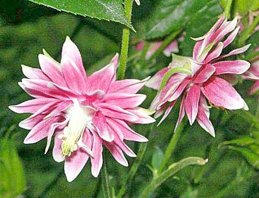 цветы водосбор (аквилегия), выращивание из семян на участке