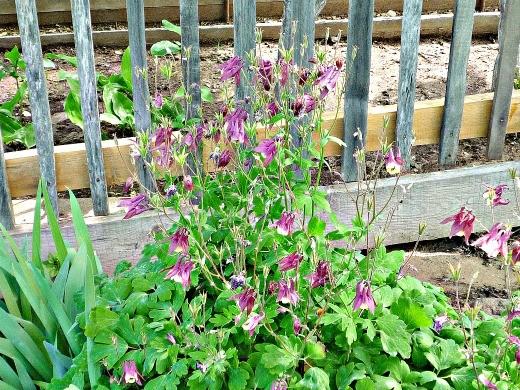 цветы водосбор (аквилегия) с ирисами в рабатке, выращивание из семян