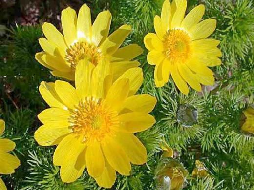 горицвет весенний, посадка и уход - цветы адонис на даче