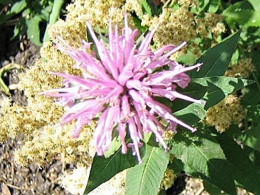 цветок монарда на дачной клумбе - посадка и уход