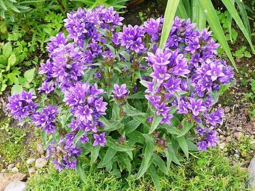 цветы колокольчики скученные - посадка и уход