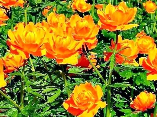 цветы купальница жарки выращивание на даче