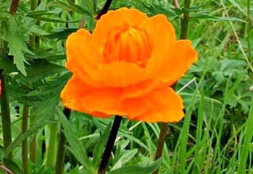 цветы купальница жарки выращивание - летом на даче