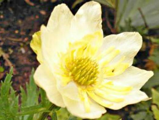 цветы купальница на клумбе - жарки выращивание