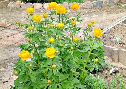 цветы купальница жарки выращивание на дачной клумбе