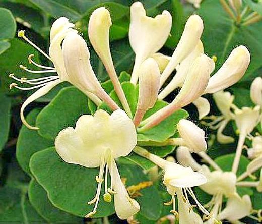 жимолость-каприфоль, посадка и уход - цветение