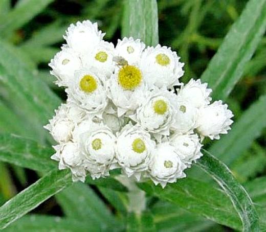 цветы анафалис, посадка и уход - белые шарики