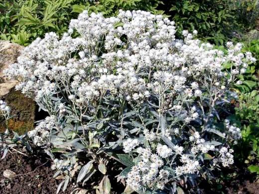 цветы анафалис жемчужный, посадка и уход