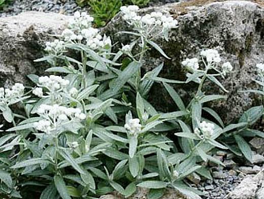 цветы на даче - анафалис, посадка и уход
