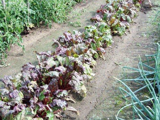 выращивание свеклы на даче из семян - грядка на огороде