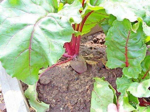 выращивание свеклы на даче из семян - молоденькие плоды