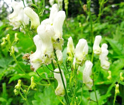 цветы аконит белые, посадка и уход