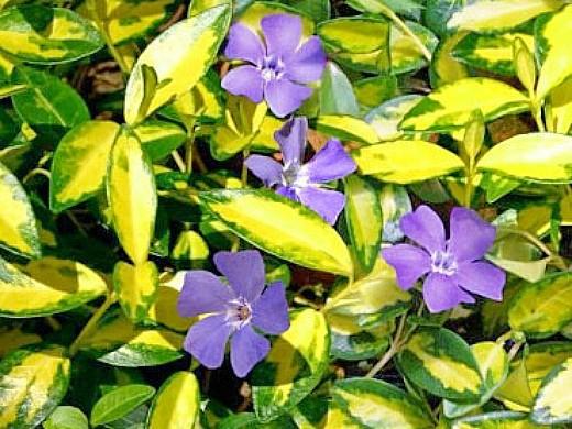 цветы барвинок на клумбе