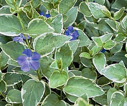 цветы барвинок на дачной клумбе