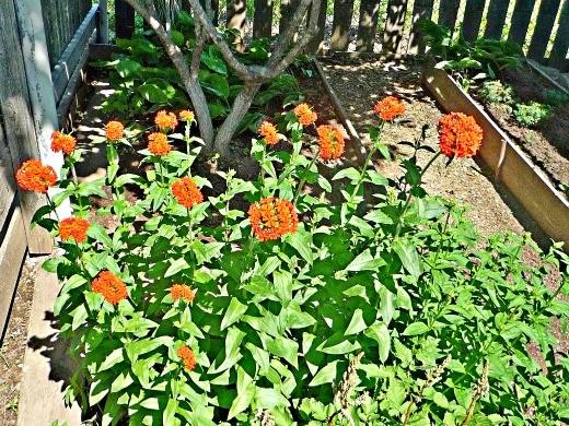 цветы лихнис 1-1