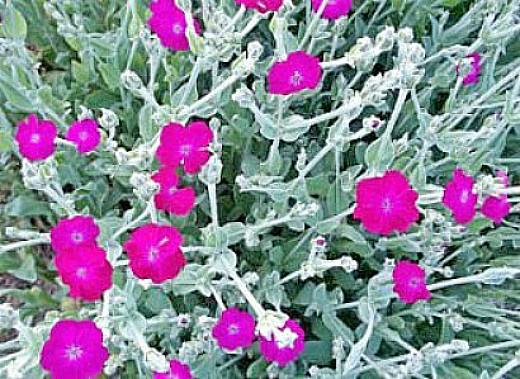 цветы лихнис 1-3
