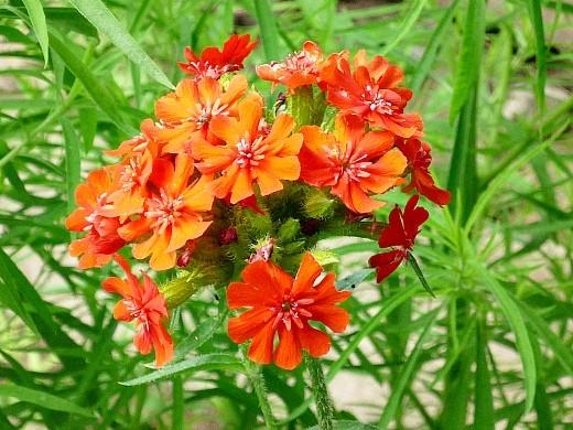цветы лихнис 1-5