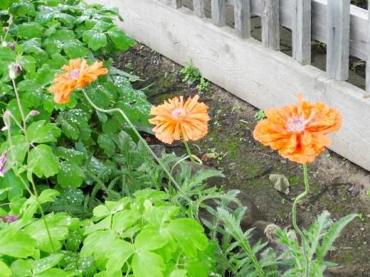 цветы маки на даче в рабатке