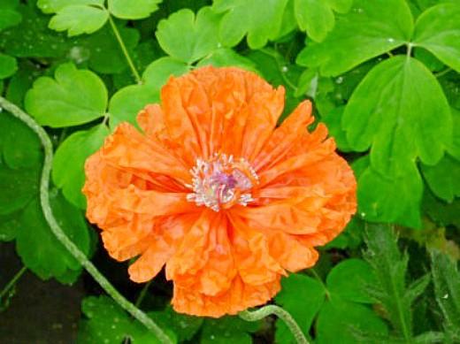 цветы маки на даче - раскрывшийся бутон