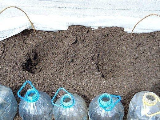 выращивание сладкого перца в открытом грунте, парнике - лунки для посадки