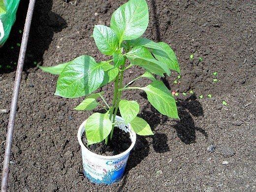 выращивание сладкого перца в открытом грунте, парнике - рассада для высадки