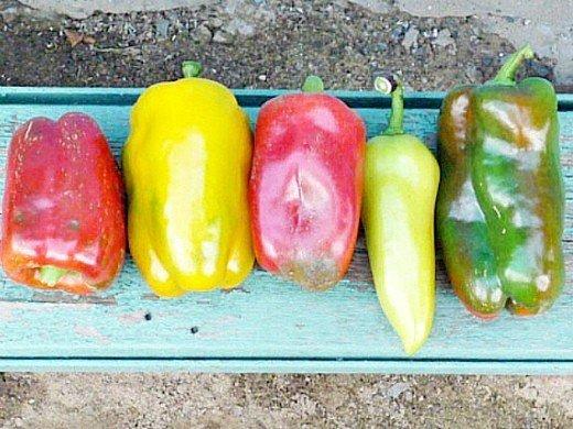 выращивание сладкого перца в открытом грунте, парнике - разноцветные плоды