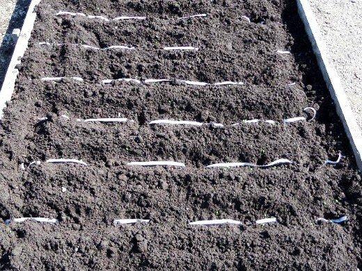 морковь, выращивание на даче - посадка лентой