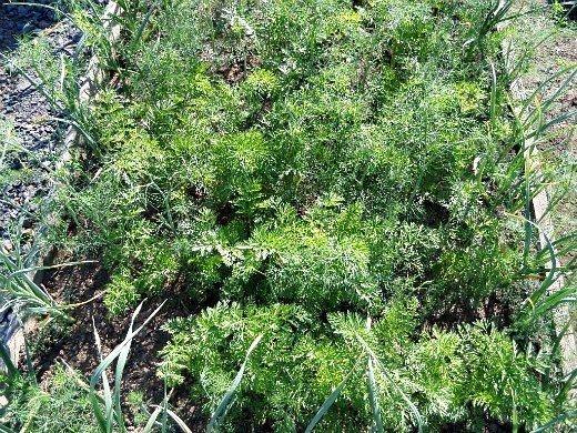 морковь, выращивание на даче - смешанные посевы, с чесноком