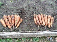 Секреты выращивания моркови на даче видео