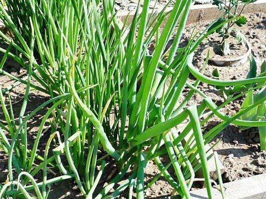 лук-батун, выращивание из семян на огородной грядке