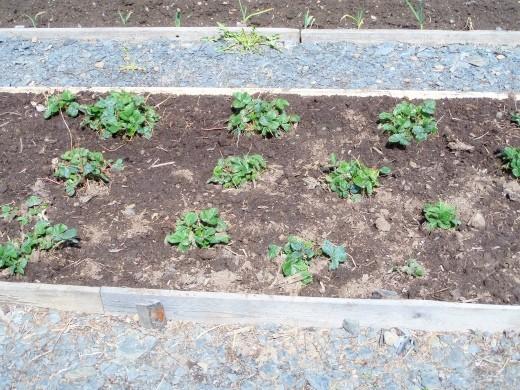 посадка и выращивание клубники на дачном участке