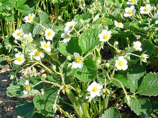 посадка и выращивание клубники - цветение
