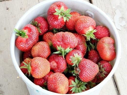 посадка и выращивание клубники - урожай ягоды